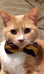cat with a bow tie
